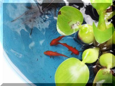 金魚 (2).JPG